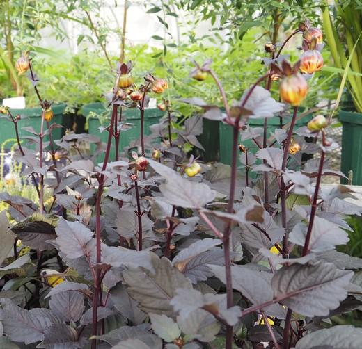 秋のお庭のマドンナはダリア_f0139333_23531261.jpg