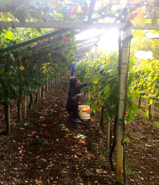 イタリアの収穫際_a0171939_1151536.jpg