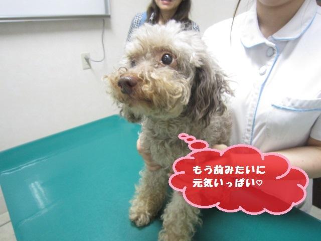 【子宮蓄膿症 トイプードル】_b0059154_9531934.jpg