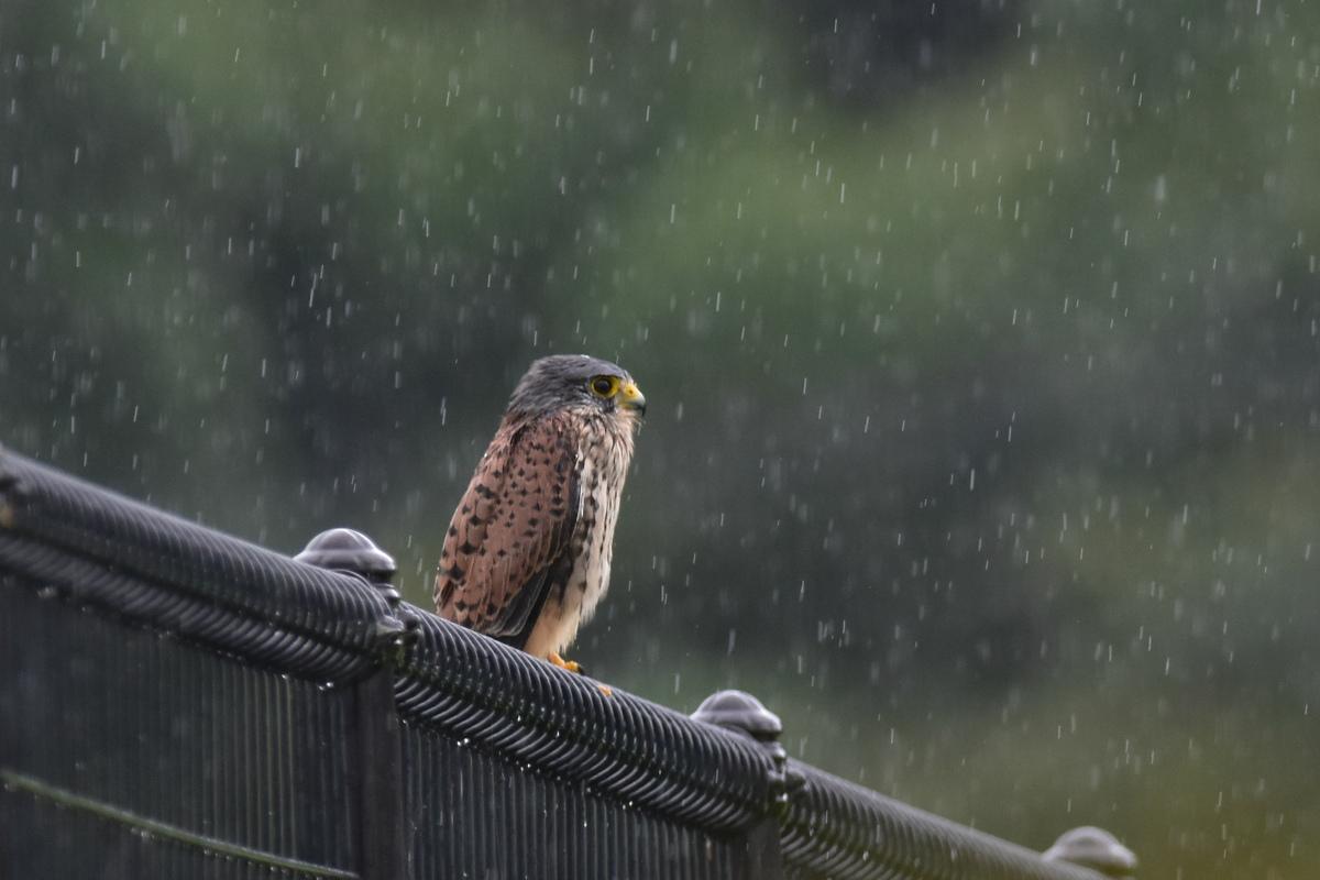 チョウゲンボウ 土砂降りの雨の中でエンジェルポーズ_f0053272_22142597.jpg