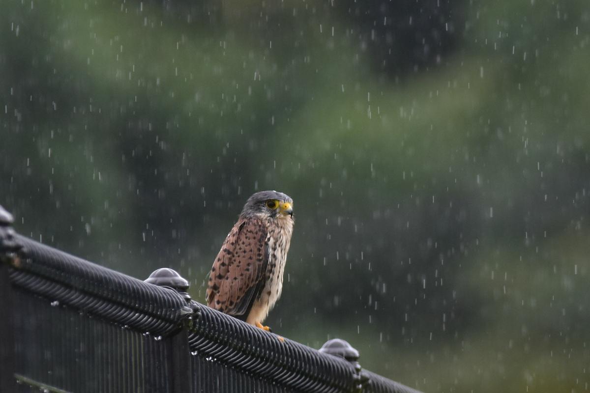 チョウゲンボウ 土砂降りの雨の中でエンジェルポーズ_f0053272_22152589.jpg