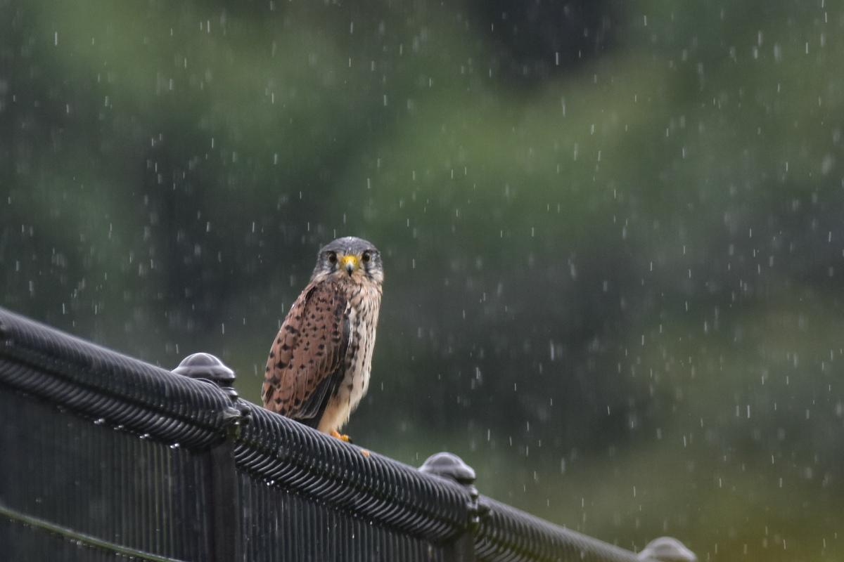 チョウゲンボウ 土砂降りの雨の中でエンジェルポーズ_f0053272_22155865.jpg