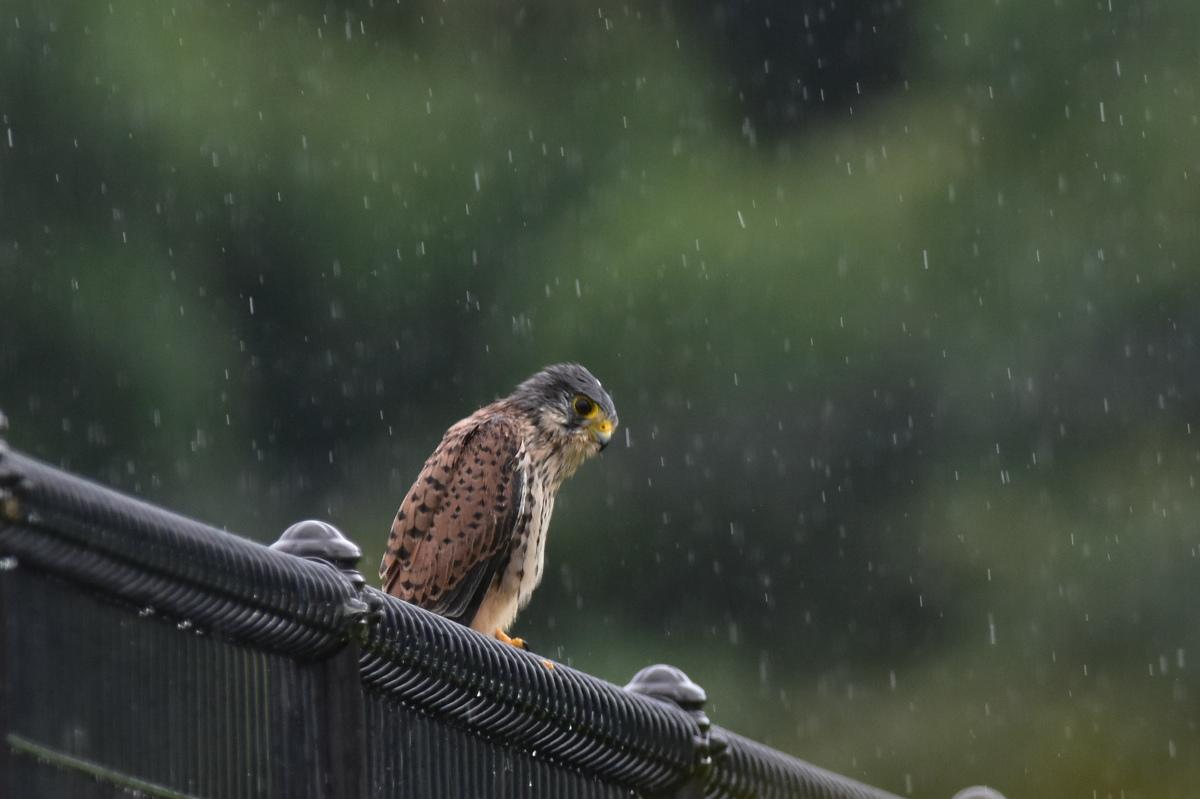 チョウゲンボウ 土砂降りの雨の中でエンジェルポーズ_f0053272_22181693.jpg