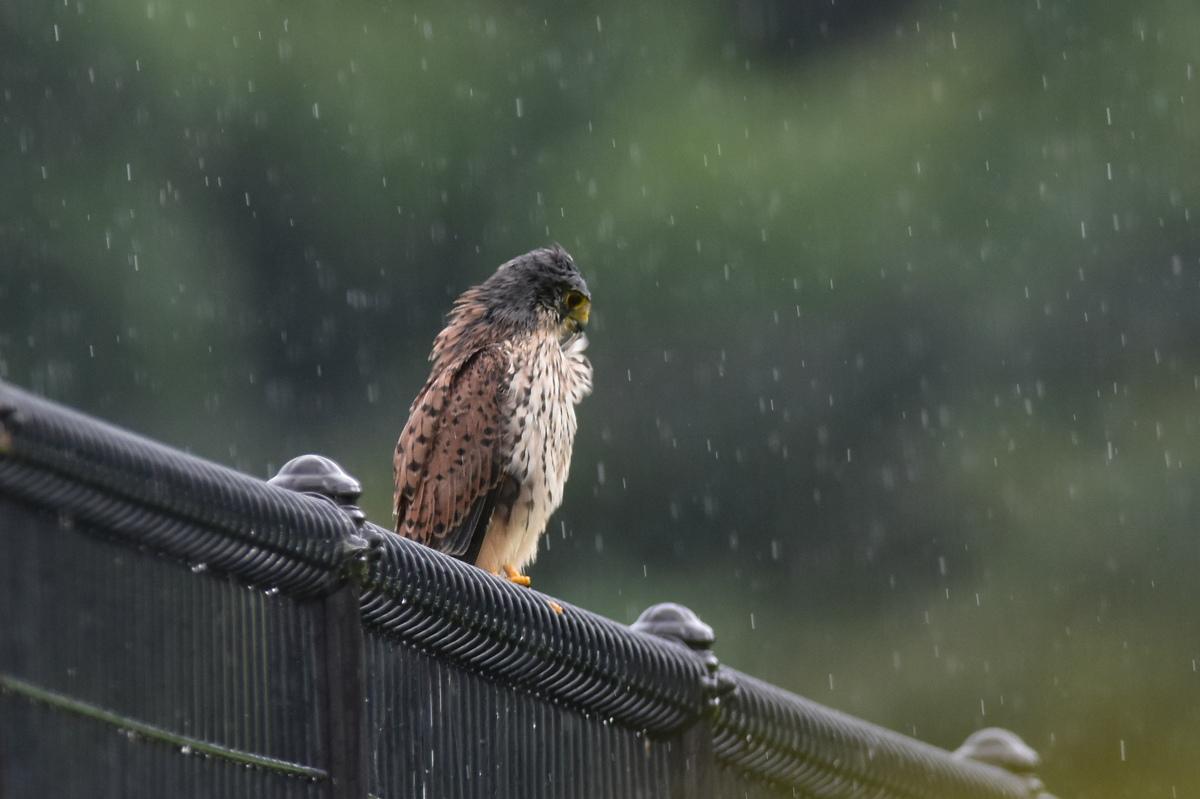 チョウゲンボウ 土砂降りの雨の中でエンジェルポーズ_f0053272_221858100.jpg