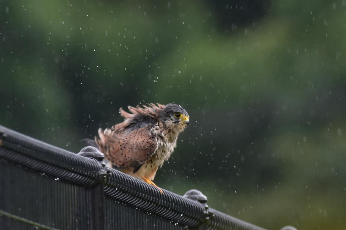 チョウゲンボウ 土砂降りの雨の中でエンジェルポーズ_f0053272_22201323.jpg