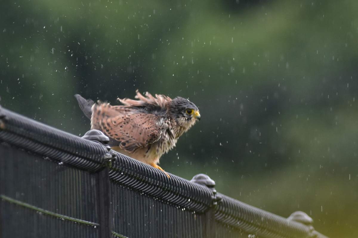 チョウゲンボウ 土砂降りの雨の中でエンジェルポーズ_f0053272_22203553.jpg