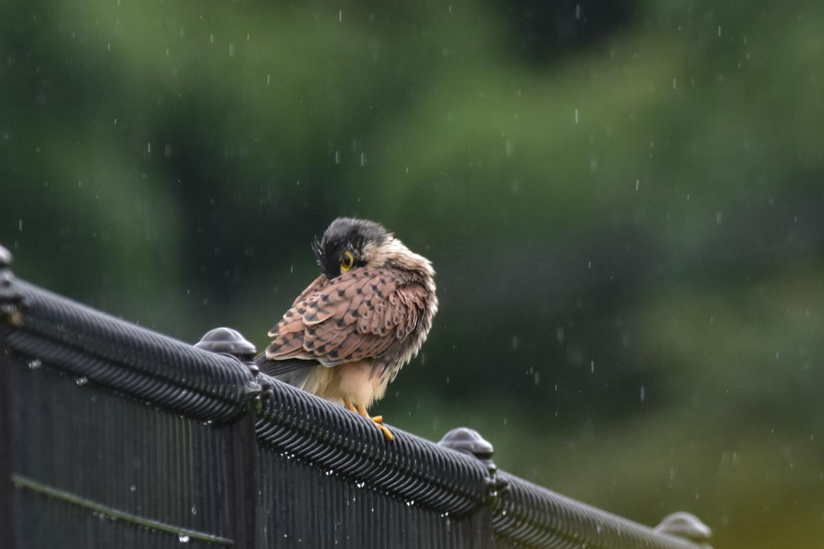 チョウゲンボウ 土砂降りの雨の中でエンジェルポーズ_f0053272_22213544.jpg