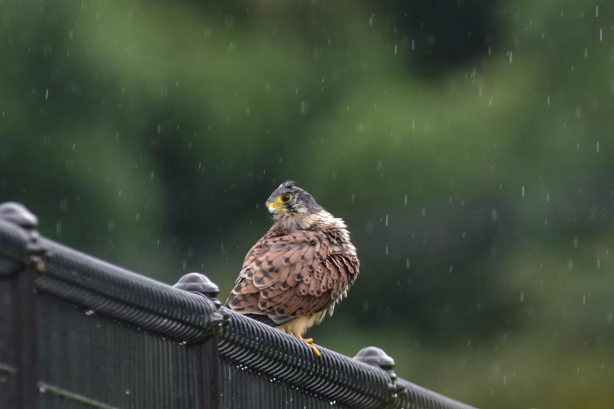 チョウゲンボウ 土砂降りの雨の中でエンジェルポーズ_f0053272_2222415.jpg