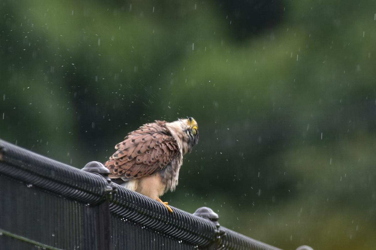 チョウゲンボウ 土砂降りの雨の中でエンジェルポーズ_f0053272_22231810.jpg