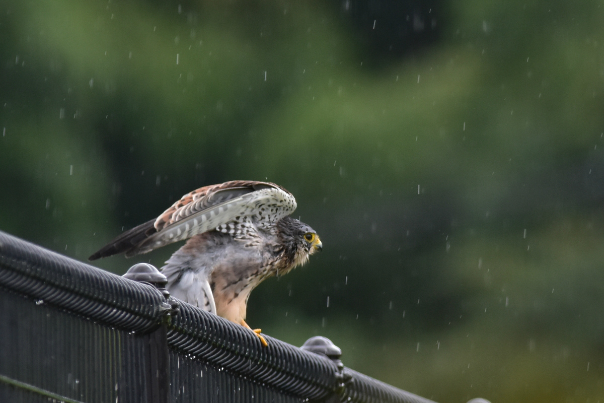 チョウゲンボウ 土砂降りの雨の中でエンジェルポーズ_f0053272_22234125.jpg