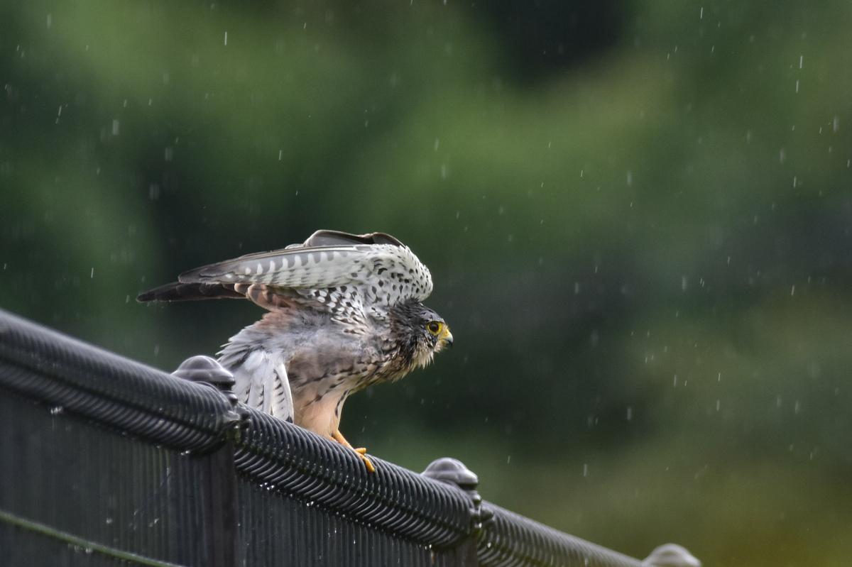 チョウゲンボウ 土砂降りの雨の中でエンジェルポーズ_f0053272_22243146.jpg