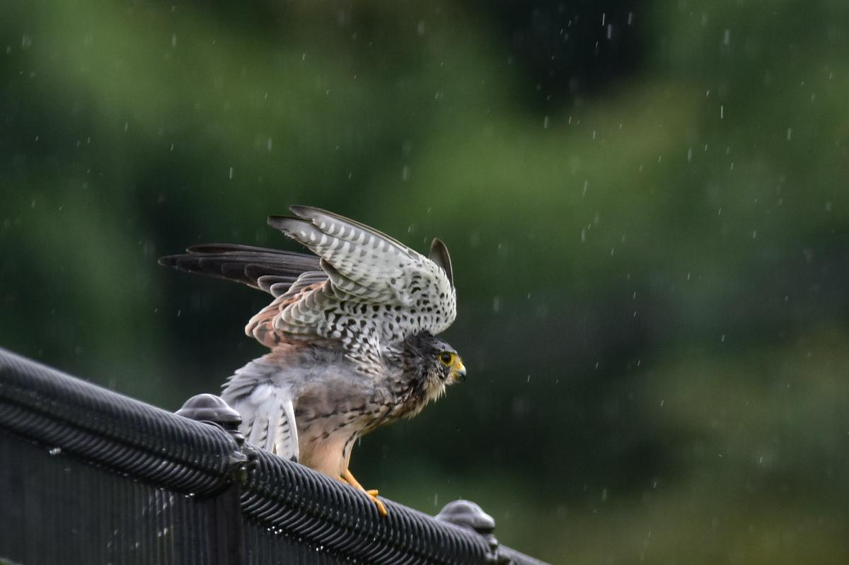 チョウゲンボウ 土砂降りの雨の中でエンジェルポーズ_f0053272_22251877.jpg