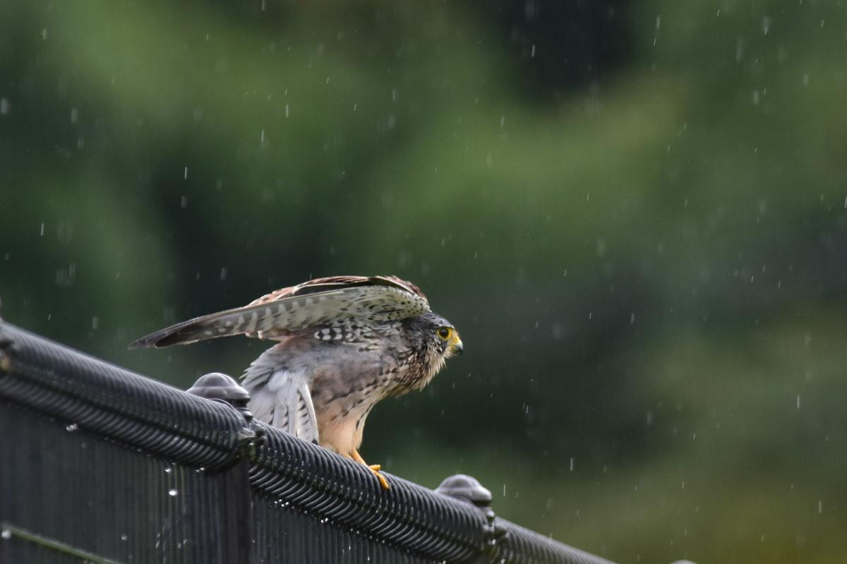 チョウゲンボウ 土砂降りの雨の中でエンジェルポーズ_f0053272_2226176.jpg
