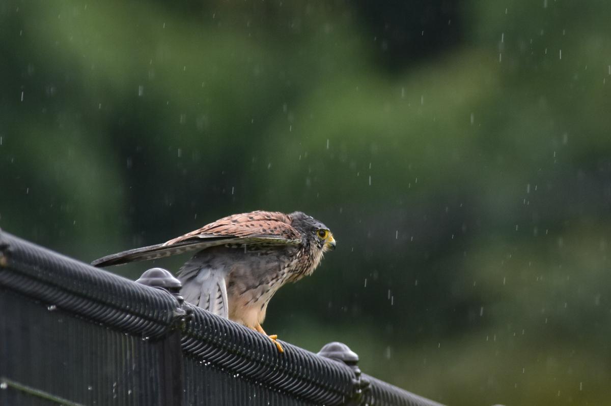 チョウゲンボウ 土砂降りの雨の中でエンジェルポーズ_f0053272_22274317.jpg