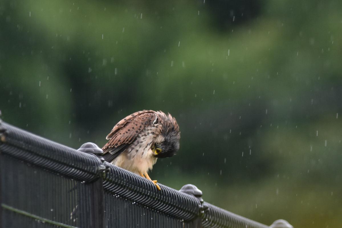 チョウゲンボウ 土砂降りの雨の中でエンジェルポーズ_f0053272_2228439.jpg
