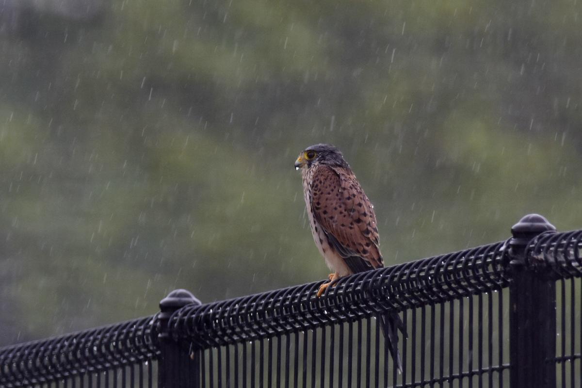 チョウゲンボウ 土砂降りの雨の中でエンジェルポーズ_f0053272_22314872.jpg