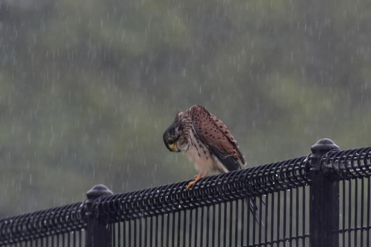 チョウゲンボウ 土砂降りの雨の中でエンジェルポーズ_f0053272_22322342.jpg