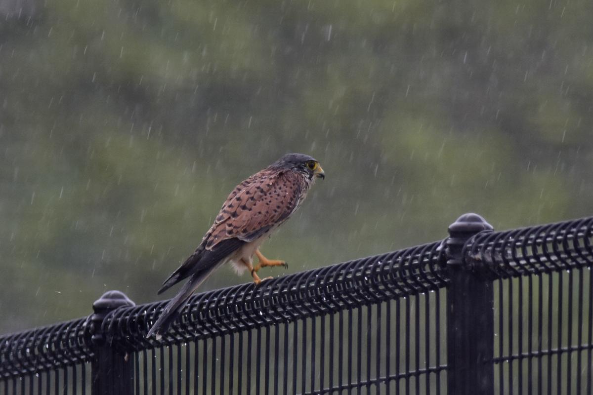チョウゲンボウ 土砂降りの雨の中でエンジェルポーズ_f0053272_2233494.jpg