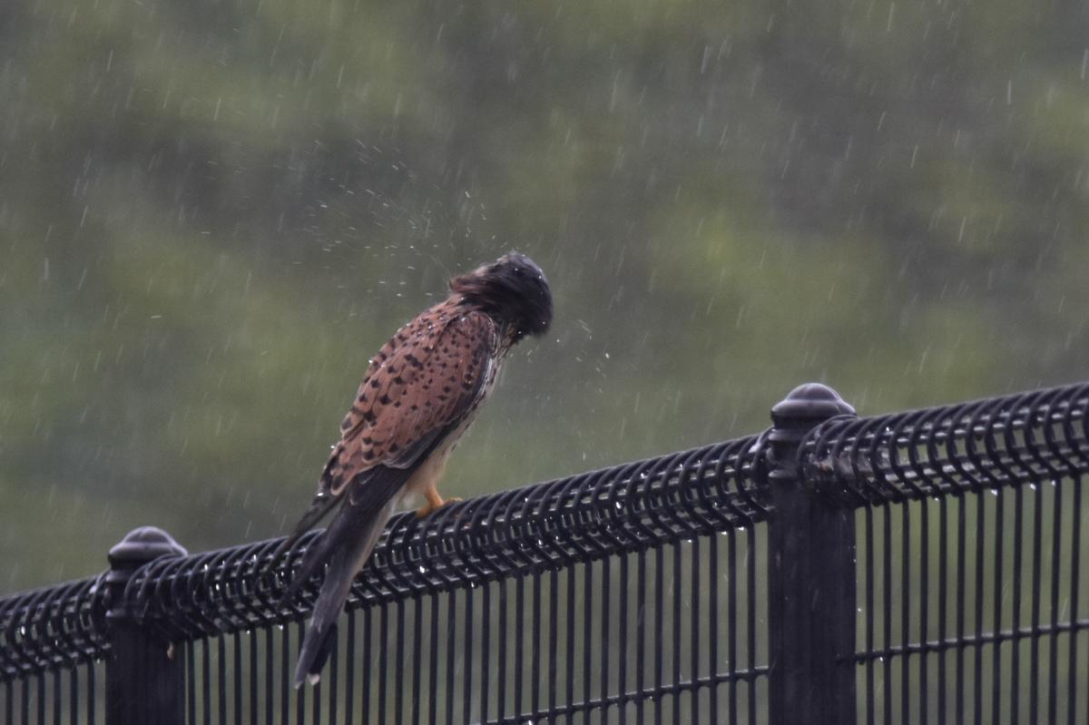 チョウゲンボウ 土砂降りの雨の中でエンジェルポーズ_f0053272_22343299.jpg