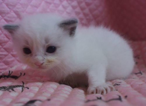 ラグドール赤ちゃん 9月10日 ブルーポイントバイカラー男の子_e0033609_21151501.jpg