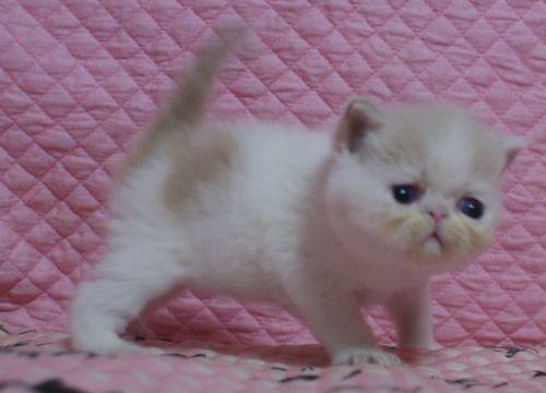 エキゾ赤ちゃん 9月12日生まれ にっちゃん子猫 クリーム&ホワイト男の子 家族募集_e0033609_21341010.jpg