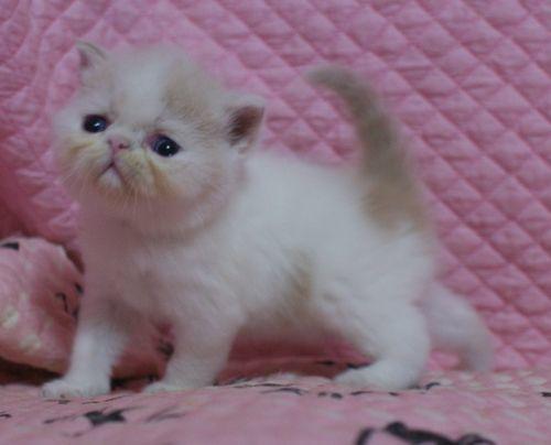 エキゾ赤ちゃん 9月12日生まれ にっちゃん子猫 クリーム&ホワイト男の子 家族募集_e0033609_21342151.jpg