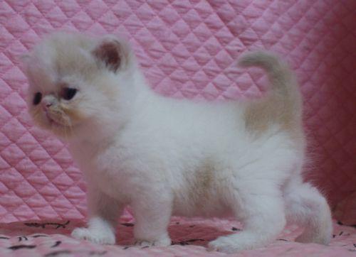 エキゾ赤ちゃん 9月12日生まれ にっちゃん子猫 クリーム&ホワイト男の子 家族募集_e0033609_21343520.jpg