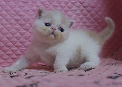 エキゾ赤ちゃん 9月12日生まれ にっちゃん子猫 クリーム&ホワイト男の子 家族募集_e0033609_21345241.jpg