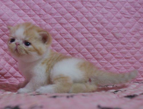 エキゾ赤ちゃん 9月12日生まれ にっちゃん子猫 レッドタビー&ホワイト女の子家族募集_e0033609_21420060.jpg