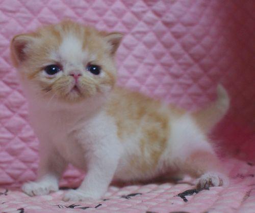 エキゾ赤ちゃん 9月12日生まれ にっちゃん子猫 レッドタビー&ホワイト女の子家族募集_e0033609_21421730.jpg