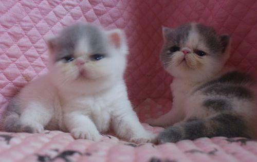 エキゾ赤ちゃん 9月12日生まれ にっちゃん子猫 ダイリュートキャリコ\'s_e0033609_21512036.jpg