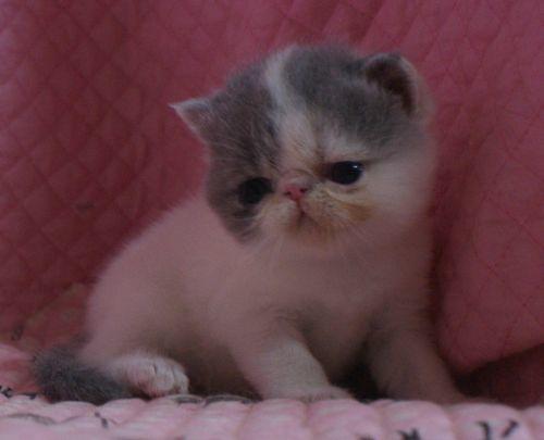 エキゾ赤ちゃん 9月12日生まれ にっちゃん子猫 ダイリュートキャリコ\'s_e0033609_21513399.jpg
