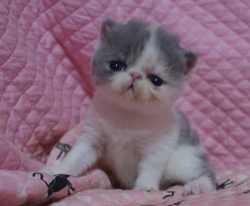 エキゾ赤ちゃん 9月12日生まれ にっちゃん子猫 ダイリュートキャリコ\'s_e0033609_21514385.jpg