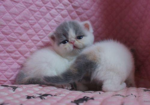 エキゾ赤ちゃん 9月12日生まれ にっちゃん子猫 ダイリュートキャリコ\'s_e0033609_21515883.jpg