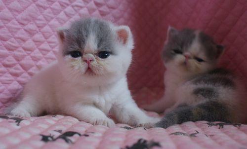 エキゾ赤ちゃん 9月12日生まれ にっちゃん子猫 ダイリュートキャリコ\'s_e0033609_21521713.jpg