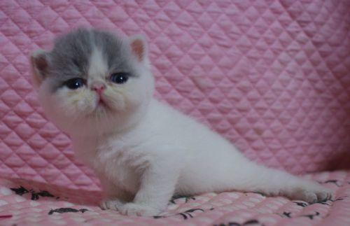 エキゾ赤ちゃん 9月12日生まれ にっちゃん子猫 ダイリュートキャリコ\'s_e0033609_21522883.jpg