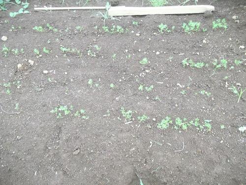 秋野菜作りは、楽しいですか??_b0137932_2147392.jpg