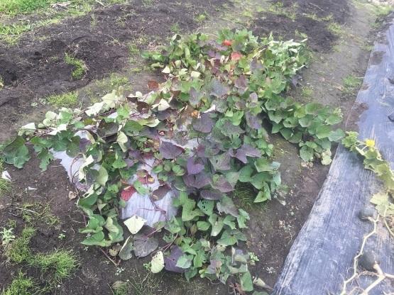 一筋縄ではいかない野菜づくり_a0356060_13474486.jpg