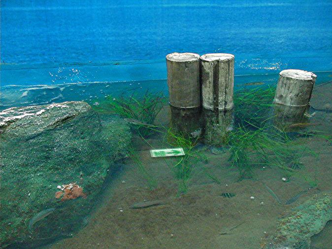 しながわ水族館:東京湾に注ぐ川~品川と海_b0355317_11534018.jpg