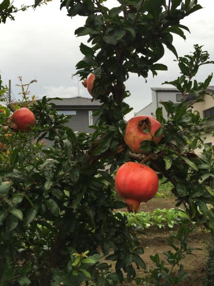 散歩中に見つけた果実(^^)_f0141246_09461000.jpg