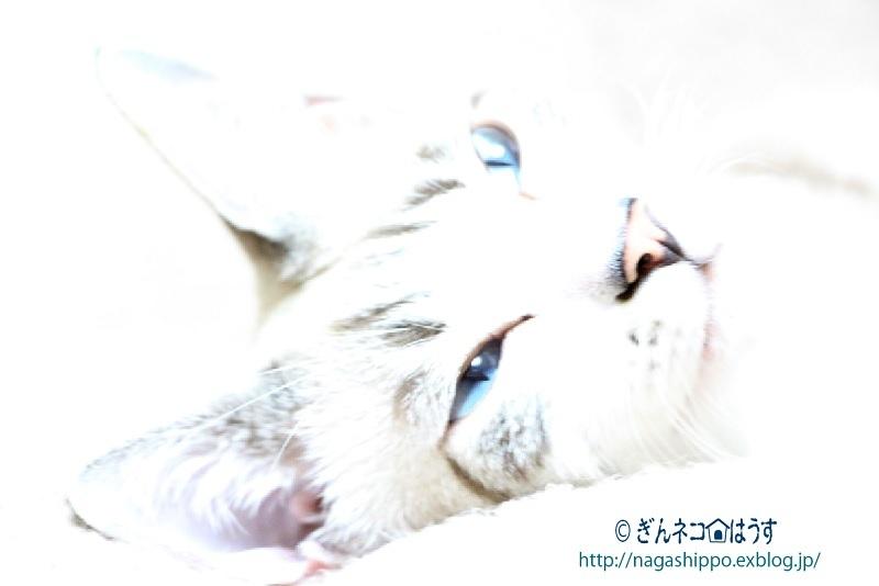 ギンちゃんの目は青い_a0333195_14580169.jpg