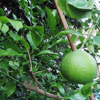 山泰荘にザクロの樹が植えられました。_c0195909_17193170.jpg