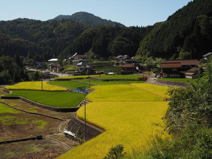 黄金色の田んぼ_c0116915_04226.jpg