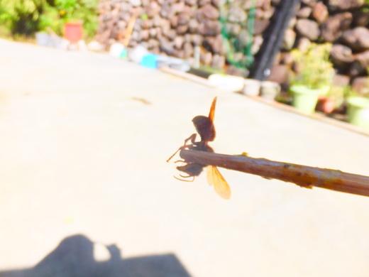 スズメバチ摘まんじゃいました。_d0251679_23183315.jpg