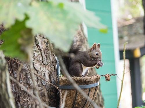 """食欲の秋!集めてきたカラマツの松ぼっくりを食べる""""エゾリス君""""_f0276498_23060324.jpg"""