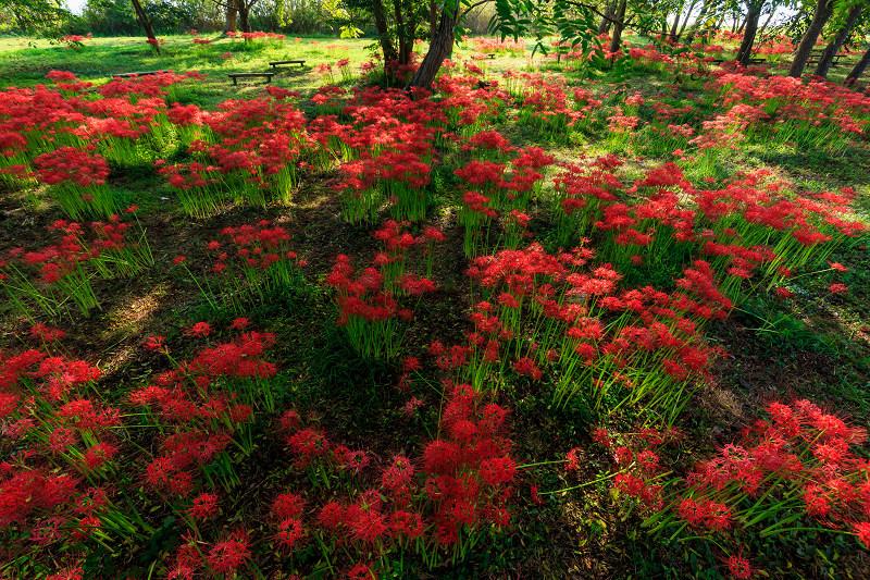 朝日に輝く彼岸花と琵琶湖(桂浜園地)_f0155048_20313421.jpg