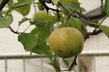 最後のリンゴ_b0214473_2214936.jpg