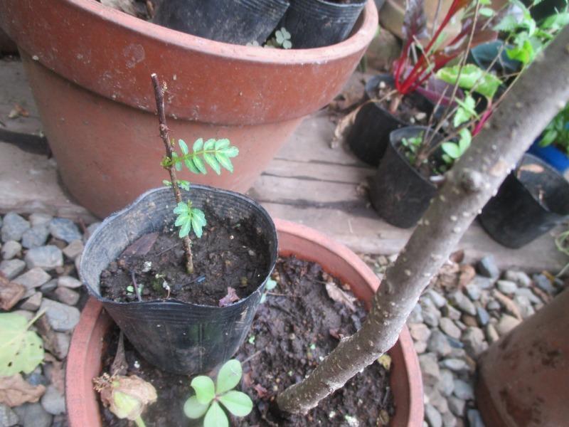 山椒 挿し木