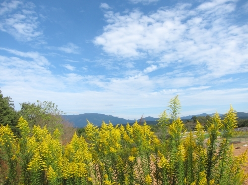 セイタカアワダチソウ 堆肥山がなくなる_d0336530_20501866.jpg