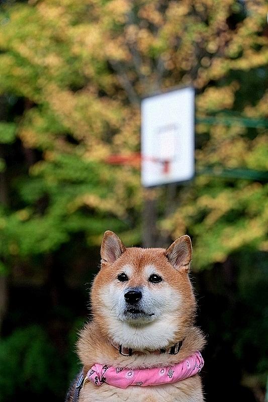 柴犬よ大志を抱け_b0314043_22252547.jpg